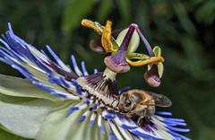 Feeding on Passiflora (endrunner) Tags: macro nature plant insect platinumheartaward ruby3 ruby10 ruby15 coth flash sb800 coth5
