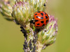 Ladybug Among Purple Flowers (Tamas V) Tags: bug bugs macro forest bokeh bokehlicious bokehful nature naturephotography naturephotograph naturephoto micro m43 microfourthirds olympus omdem5 60mm olympus60mm olympusmacro gettyimages getty green wildlife wild wildlifephotograph wilderness summer cute insect insects macrophotography macrophotograph micro43 mirrorless istock stock stockphotography stockphotograph park animal ladybug flower flowers blooming purple outside nanaimo vancouverisland canada garden