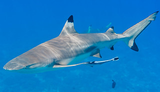 Blacktip Reef Shark, male with Sharksucker - Carcharhinus melanopterus with Echeneis naucrates