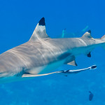 Blacktip Reef Shark, male with Sharksucker - Carcharhinus melanopterus with Echeneis naucrates thumbnail