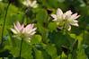 Two More Pink-Tipped Lotus (Robb Wilson) Tags: echopark losangeles lotusfestival lotusflowers lotusblossoms pinktippedlotusblossoms hugegreenleaves
