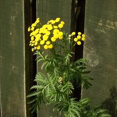 Tansy (nz_willowherb) Tags: tansy tanacetumvulgare chrysanthemumvulgare scotland fife wormit