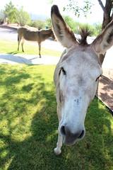 7-13-17 5 (EllenJo) Tags: donkeys burros clarkdaleburros canonrebel july13 2017 ellenjo verdecanyonrailroad depot traindepot equine