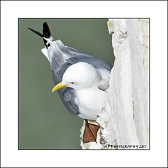 Kittiwake (Rissa tridactyla) (prendergasttony) Tags: flight cliff bempton rspb bird avian pov dof nikon d7200 wings birdwatching outdoor nature wild roosting nesting yorkshire england diving action gliding flying elements glide feathers soar wingspan coast coastline kittiwake rissa tridactyla feet chalk white yellow beak webbed