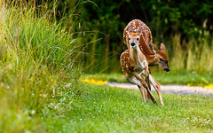 Jumperific (CamSummers) Tags: fawn deer outdoor nature wildlife whitby ontario canada conservation play jump rule thirds action