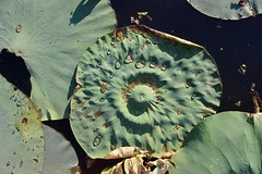 Lilypads (henrygargan) Tags: lake plants waterlillies water