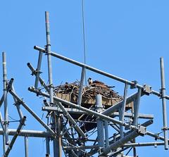 DSC_9709_00001--Osprey Nest, At Highway Tower (Jim Greer,----- 290,000 views.) Tags: tower hightower osprey