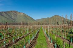 Dormant vineyards at Santa Rita (Rodolfo Ribas) Tags: d021073 vineyards santarita santiago chile dormant