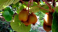 Kiwis nissart (bernard.bonifassi) Tags: bb088 06 alpesmaritimes 2017 juillet nice nissa gairaut counteadenissa fruit kiwi