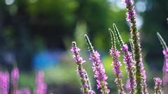 Purple - 3338 (YᗩSᗰIᘉᗴ HᗴᘉS +6 500 000 thx❀) Tags: purple flowers bokeh fleur flora heios canon canoneos7dmarkii nature hensyasmine