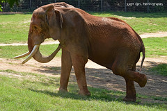 Brown Elephant One Foot Up (Sage Girl Photography) Tags: elephant csarflapjack nczoo asheboro zoo captivity sagegirl nikond3300 wild eatinggrass
