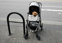 UppaBaby (Happily Drive) Tags: vancouver color colour martin parr streetcolor street photography dog lumix gm5
