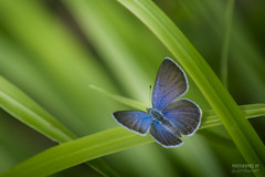 Blue wing (>>Marko<<) Tags: butterfly insect sinisiipi hyönteinen suomi finland perhonen kesä summer nature luonto ruoho sara grass outdoor hq bluewing