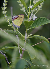 Amethyst Hairstreak (Kevin B Photo) Tags: kevinbarry amethysthairstreak vertical insect butterfly summer summertime afternoon rare small green south southern