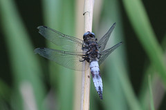 Scarce Chaser Dragonfly (Dawn Earl Pictures) Tags: paxton pits cambs dragonfly demoselle