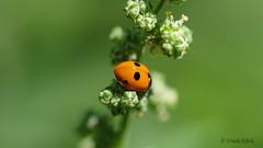Fünfpunkt-Marienkäfer (Coccinella quinquepunctata) (Oerliuschi) Tags: coccinellaquinquepunctata fünfpunktmarienkäfer natur wiese nrw panasonicgh5