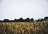 Mähdrescher #1 (Herr Klimmeck) Tags: norden norddeich feld weizen sonne sommer korn wiese felder weizenfeld weizenfelder