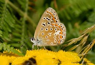 Polyommatus icarus  ofte icarusblauwtje