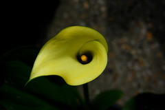 Calla Lily (rachael_lea) Tags: callalily flower yellow green plant garden abstract