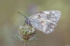 Melanargia (raulgranados) Tags: flor flower mariposa macrofotografía