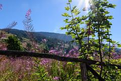 raggi di sole sullo steccato (Clay Bass) Tags: 2485 pontechianale backlight d750 fence flowers mountain natural nikon rays
