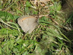 Small heath butterfly (deannewildsmith) Tags: staffordshire wolseleynaturecentre earthnaturelife smallheathbutterfly butterfly insect