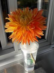 Yellow Dahlia flower greeting customers at Starbucks, Dash Point Road, Washington, USA (Wonderlane) Tags: 20170721105554 yellowdahliafloweratstarbucks dashpointroad washington usa yellow dahlia flower greeting customers starbucks