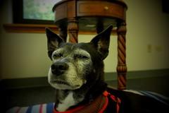 Mazie, at work. 18 (X70) (Mega-Magpie) Tags: fuji fujifilm x70 pet dog puppy mazie work dupage il usa illinois america cute