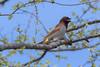 Scaly-breasted Munia (kishorebhargava) Tags: birds birdsofindia birdsofrajasthan india rajasthan ranthambhore ranthamboretigerreserve sawaimadhopur scalybreastedmunia