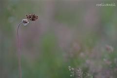 In het paars/Purple fritillary and flowers (roelivtil) Tags: bokeh paarseparelmoervlinderboloriadia weaversfritillary purple nature butterfly