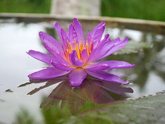 Nymphaea 'Turtle Island Violicious' ISG (HxT) Water Lily Klong15 007 (Klong15 Waterlily) Tags: turtleisland violiciouswaterlily thailandwaterlily isgwaterlily intersubgenericwaterlily purplewaterlily hxtwaterlily nymphaea
