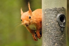 Red Squirrel (Mrs Airwolfhound) Tags: red squirrel mammal cute fury canon 550d threave