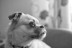 Ronnie (John Fenner) Tags: nikon d750 fx nikkor 50mm f18 afd prime dog pug bichon frise jack russell mix cross black white mono bw domestic pet canine