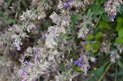 fullsizeoutput_977d (Fan Majie 範瑪姐) Tags: bumblebee mimicry lavendel bugs