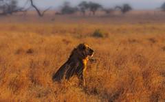 King, Serengeti National Park, Tanzania (Poulomee Basu) Tags: wildlifephotographer wildlifephotography savannah sunset adventure africa letlionslive lion bigcat bigcatdiaries wild wildlife