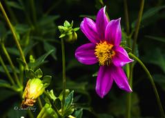DSC-4228 (Sunil - Bhoj) Tags: flower mysuru karnataka india