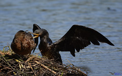 Cormorant attacking a mallard. (spw6156 - Over 5,680,600 Views) Tags: cormorant attacking mallard iso 800 cropped copyright steve waterhouse