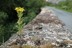 Determined Weed (raymond6030) Tags: sonyrx100 weed plant road stone foliage tree cumbria