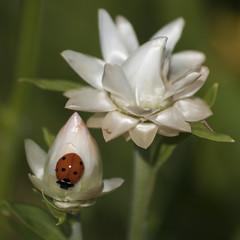 Immortalisée (Titole) Tags: immortelle everlastingflower white coccinelle ladybug ladybird titole nicolefaton squareformat