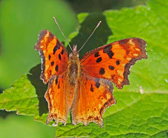 CAE000130a (jerryoldenettel) Tags: 170711 2017 cowles hoarycomma nm nymphalidae nymphalinae panchuelacreek polygonia polygoniagracilis sanmiguelco butterfly comma insect