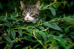 'Tiffin Atop' (Jonathan Casey) Tags: cat bush tabby white kitten nikon d810 200mm f2 vr