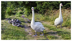 Swans with Cygnets (Digital Wanderings) Tags: swans cygnets canal uk towpath