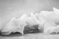 White gladioli (Elisafox22 slowly catching up again!) Tags: elisafox22 sony a58 helios442 helios madeinussr 258 8blade vintagelens hmbt monochromebokehthursday gladioli gladiolus flowers stem flower white droplets water bokeh petals monochrome blackandwhite monotone shadows bw mono greyscale elisaliddell©2017