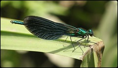 Male Beautiful Demoiselle (glostopcat) Tags: beautifuldemoiselledamselfly damselfly insect invertebrate ordonata june summer linearpark cinderford glos forestofdean
