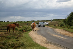 New Forest Ponies (crafty1tutu (Ann)) Tags: travel holiday 2017 unitedkingdom uk england newforest hampshire animal horse pony crafty1tutu canon5dmkiii canon24105lserieslens anncameron