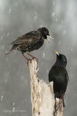 Bird_20170317_1210 copy (karenpatterson) Tags: birds blackbirds starlings angrybirds territorial avian nature birdbehavior european starling winter behavior sturnus vulgaris