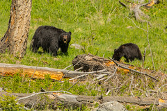 We're trying to eat here (ChicagoBob46) Tags: blackbear bear cub yearling yellowstone yellowstonenationalpark nature wildlife coth5 ngc