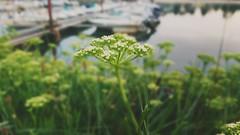 Fleurs et floutage (freddylyon69) Tags: mimizanplage fleurs xperiaxz floutage boats port courant sony landes oceanatlantique