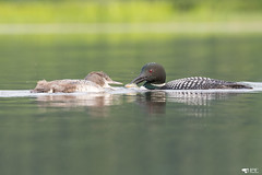 ''Le Snack!'' Plongeon huard-Common loon (pascaleforest) Tags: oiseau bird passion nikon nature wild wildlife québec canada kayak summer été matin moorning huard loon animal eau lac water faune