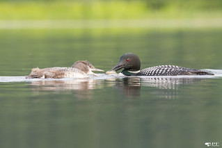 ''Le Snack!'' Plongeon huard-Common loon